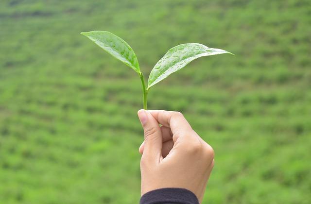 plantáže čaje
